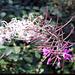 Verblühendes Wald-Weidenröschen (Epilobium angustifolium)