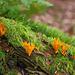 Unterwegs nach Geristein. Klebriger Hörnling (Calocera viscosa)