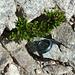 meine bisher höchstgelegene Alpenrose (2915m)
