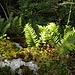 Engelsüss [Polypodium vulgare] - danke, [u pizflora]!