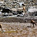 una famiglia di camosci pascola allegramente a ridosso di un laghetto in secca.