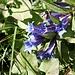 <b>Genziana asclepiadea</b> (Gentiana asclepiadea).