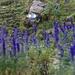 Blau in Blau - die blauweissen Markierungen und massenhaft giftiger Eisenhut.