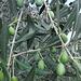 ergibt allerbestes Olivenöl vom Gardasee