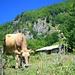Kuh bei Zarunica