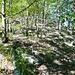Die ehemalige Weide der Alp Carugo mit Eichenbestand