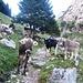 Wegelagerer - für sie ist die Alpsaison heute zu Ende gegangen