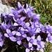 Herbstlicher Enzian - jetzt überall in voller Blüte