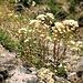 Blumen am Wegesrand, Trauben-Steinbrech oder Saxifraga paniculata<br />