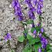 Am Wegrand die Nesselblättrige Glockenblume (Campanula trachelium)
