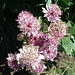 Grosse Sterndolde (Astrantia major)