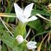 Hab ich zuvor noch nie so gesehen: Die weisse Variante des herbstlichen Enzians. Vielleicht eine endemische Art, die nur in der Schafberg-Ostwandrinne vorkommt ;-)