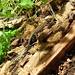 Mehrere dieser noch winzig kleinen Eidechsen krabbelten auf einem vermoderten Holzhaufen in der Sonne herum. :-)