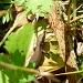 Ein Mini-Waran im Blätterdschungel