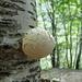 Funghetto cresciuto curiosamente sul tronco di una betulla.