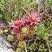 Berg-Hauswurz (Sempervivum montanum)