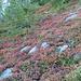 herbstlich farbige Heidelbeerstauden