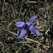 Bewimperter Enzian (Gentiana ciliata)<br /><br />besten Dank an MaeNi