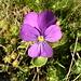 Langsporniges Veilchen (Viola calcarata)