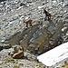 Mit Vier-Bein-Antrieb haben Steinböcke einen unschätzbaren Vorteil in diesem Gelände.