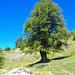 Bei diesem Baum gelangt man zum Mountainbikeweg