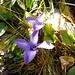Gewöhnlicher Fransenenzian (Gentianella ciliata)