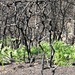 zartes Grün im verbrannten Wald