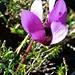Herrliche Bergblume - welche mir auf der Alpennordseite noch nie begegnet ist