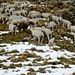 Pass de Buffalora 2261m - die Schafe suchen apere Plätze in der Höhe
