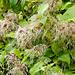 Am Wegrand: Gemeine Waldrebe (Clematis vitalba)