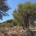 Schöner Olivenbaum