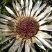 a albino sunflower