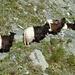 Ziegen auf dem Suonenweg