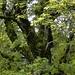 Prächtiger, alter Ahornbaum auf der Fläschlihöchi