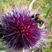 Cardo scardaccio - Cirsium eriophorum