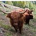 Wo sind im Wallis die Eringer-Kühe geblieben?
