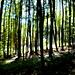 Im Buchenwald oberhalb Springe