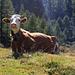 Schauen Schweizer Kühe immer sooo skeptisch??