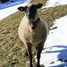 A sheep near Achenriet