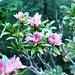\Alpenrosen im Oktober