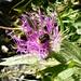 Wildbiene geniesst den letzten Nektar