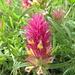 Ackerwachtelweizen (Melampyrum arvense)  wie aus Papier