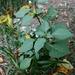 In den felsdurchsetzten, sonnigen Steilhängen ist der Schwarze Nachtschatten (Solanum nigrum) zu Hause.