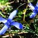 Gefranzter Enzian. Eine klassische Herbstblume