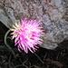 die Kugelblume schmiegt sich an den Fels