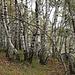 La diffusione della betulla <b>(Betula pendula)</b> è stata favorita dall'abbandono delle aree agricole e pascolive e dagli incendi.