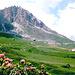 Alpenrosen u. Trollblume am Rückweg zum Pordoipass