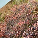 Heidelbeerparadis Grimsel