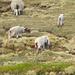 Non è uno bello spettacolo! I pastori tagliano la coda completamente perchè troppo lunga ...