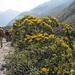 Arbusti fioriti: si vede che stiamo scendendo di quota